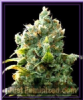 Eva African Free Female 3 Marijuana Seeds